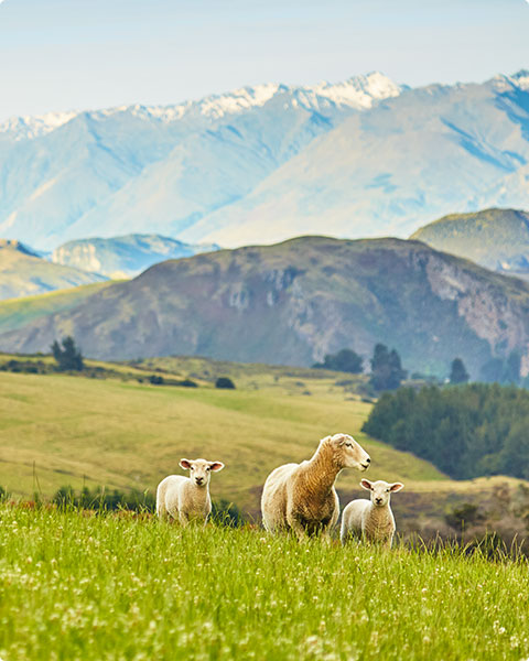 New Zealand grass-fed beef lamb contact 2